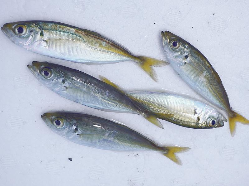 釣り アジ2